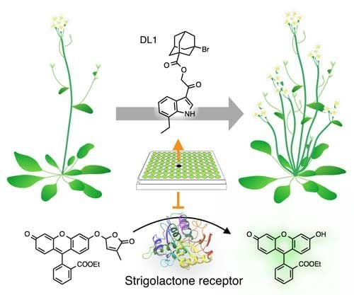 A genetic trigger adds branches to plants, could boost crop yields - اخبار زیست فن
