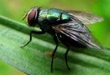 Photo of Flies' Feet Can Spread Bacteria