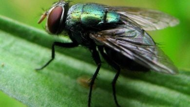 Photo of Flies' Feet Can Spread Bacteria