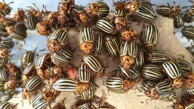 Colorado potato beetle genome gives insight into major agricultural pest - اخبار زیست فن