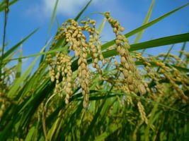 Photo of واکنش برنج در مقابل قطع OSSEC3A