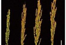 Photo of افزایش عملکرد و ترویج گلدهی در برنج با بهبود استفاده از نیتروژن