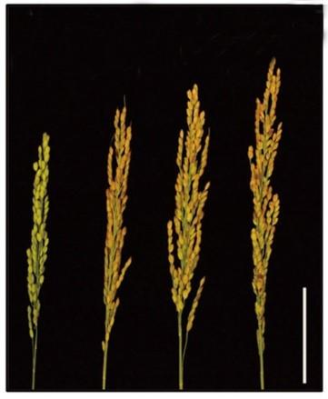 New approach to improve nitrogen use, enhance yield, and promote flowering in rice - اخبار زیست فن
