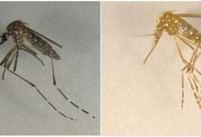 Cas9 Expression in Mosquito Germlines Could Help Prevent Disease Spread