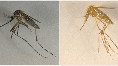 Photo of Cas9 Expression in Mosquito Germlines Could Help Prevent Disease Spread