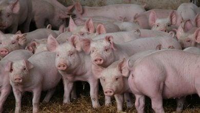Protecting the herd New opportunities through gene editing - اخبار زیست فن