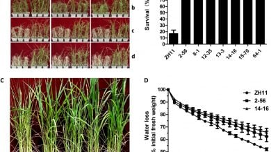 SMALL SIGNALING PEPTIDE ENHANCES DROUGHT TOLERANCE IN RICE - اخبار زیست فن