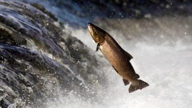 Photo of ماهی قزل آلای انگلیسی