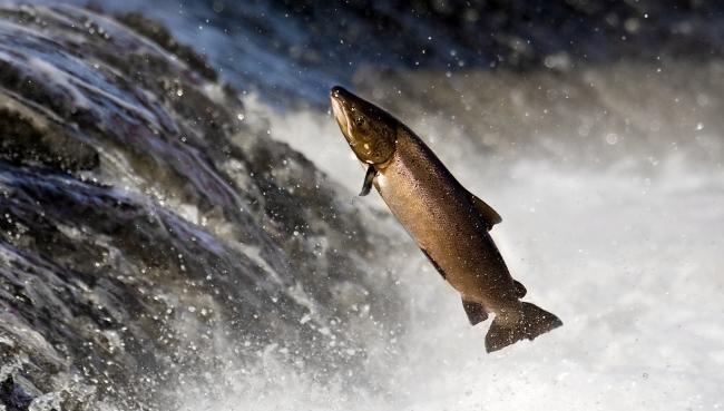 UK chalk-stream salmon genetically unique - اخبار زیست فن