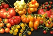 What is insight the tomato - اخبار زیست فن
