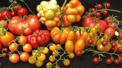 Photo of درون گوجه فرنگی چیست؟