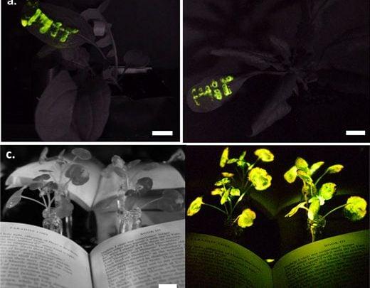 پیشرفت چشمگیر در تولید گیاهان نورزا با نانوتکنولوژی - اخبار زیست فناوری