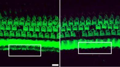 بازگرداندن قدرت شنوایی در موشهای ناشنوا به کمک تکنیک CRISPR–Cas9 - اخبار زیست فناوری