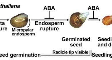 Photo of یافتن ژنی با تأثیر منفی بر فرایند جوانهزنی بذر