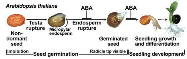 یافتن ژنی با تأثیر منفی بر فرایند جوانهزنی بذر - اخبار زیست فناوری