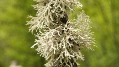 قارچها و جلبکها، برای تشکیل گلسنگ، ژنهای خود را هم به اشتراک میگذارند! - اخبار زیست فناوری