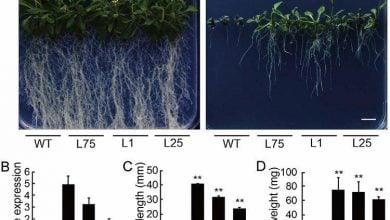 Photo of مقاومت آرابدیوپسیس به تنش اکسایشی با انتقال ژن پلاستوسیانین گیاه سیاهشور