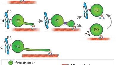 Photo of قدرت کشش ، بینش جدیدی در پویایی غشای سلول های انسانی
