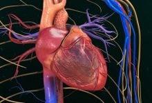 Photo of استفاده از علامتهای کدگذاری شده رنگی برای کشف چگونگی تکامل سلولهای قلبی