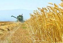 تکنیک جدید برای ایجاد سریعتر تولیدکنندههای گندم مقاوم به خشکی - اخبار زیست فناوری