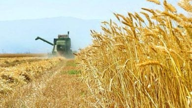 Photo of تکنیک جدید برای ایجاد سریعتر تولیدکنندههای گندم مقاوم به خشکی