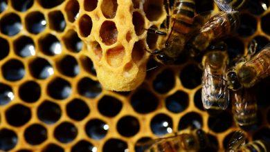 Photo of چگونگی سقوط نکردن فرزندان زنبور ملکه