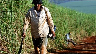 Brazil sugar mills start genetically-modified cane plantation - اخبار زیست فن