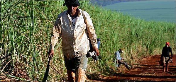 Brazil sugar mills start genetically-modified cane plantation - اخبار زیست فن
