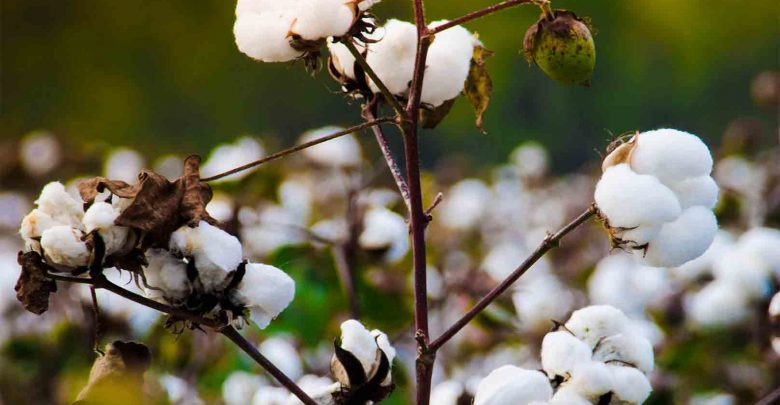 CRISPR-CAS9 CAN MODIFY COTTON BOLLWORM GENES - اخبار زیست فن