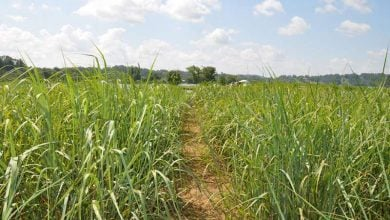 GMO switchgrass has no negative effect on soil - اخبار زیست فن