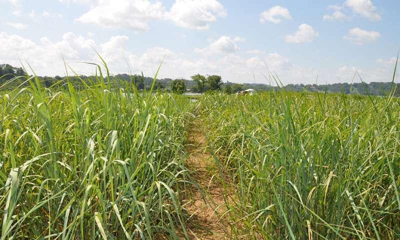 GMO switchgrass has no negative effect on soil - اخبار زیست فن