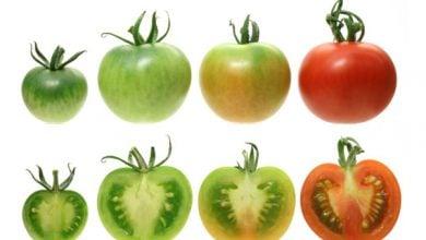 Photo of اصلاح میوه گوجه رسیده با LNCRNA1459