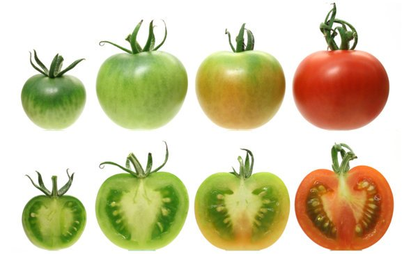 LNCRNA1459 KNOCK-OUT ALTERS TOMATO FRUIT RIPENING - اخبار زیست فن