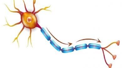 Photo of نقش حمایتی سلولهای ایمنی B در تکامل نورونها