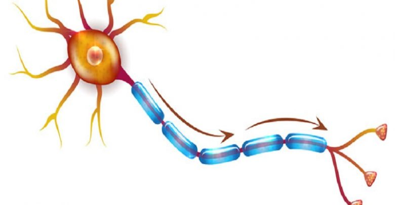 نقش حمایتی سلولهای ایمنی B در تکامل نورونها-زیست فن