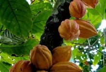 RESEARCHERS APPLY CRISPR-CAS9 ON CACAO LEAVES - اخبار زیست فن