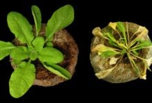 STUDY SHOWS HOW PLANTS USE 'BAITS' TO TRAP PATHOGENS - اخبار زیست فن