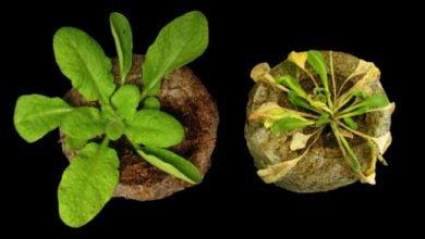Photo of به دام انداختن پاتوژن ها در گیاهان