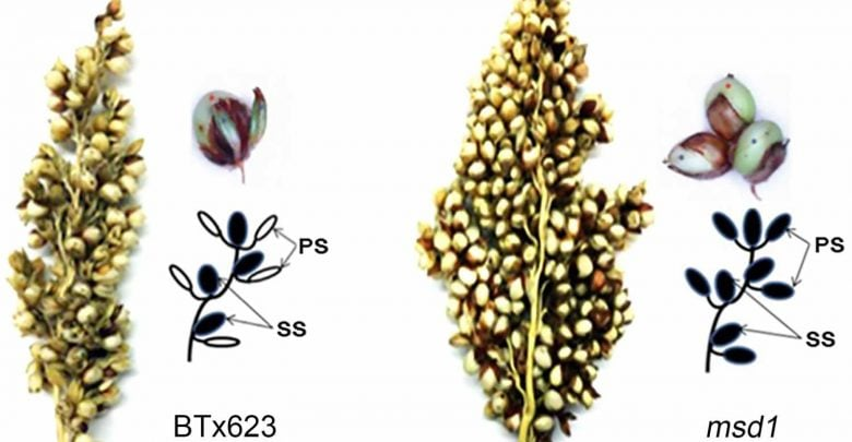 The secret to tripling the number of grains in sorghum and perhaps other staple crops - اخبار زیست فن
