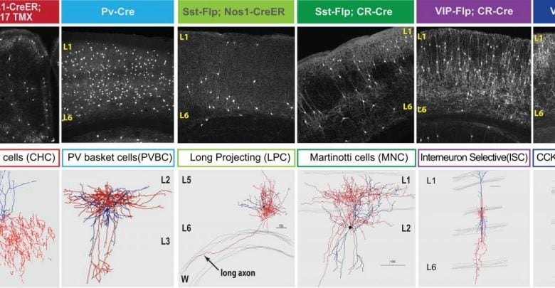 Neuron types in brain are defined by gene activity shaping their communication patterns