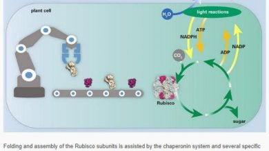 مهندسی آنزیم روبیسکو توسط محققان انستیتو مکس پلانک - اخبار زیست فناوری