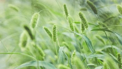 کشف مکانیسم ژنتیکی برای افزایش عملکرد محصولات غلهای - اخبار زیست فناوری