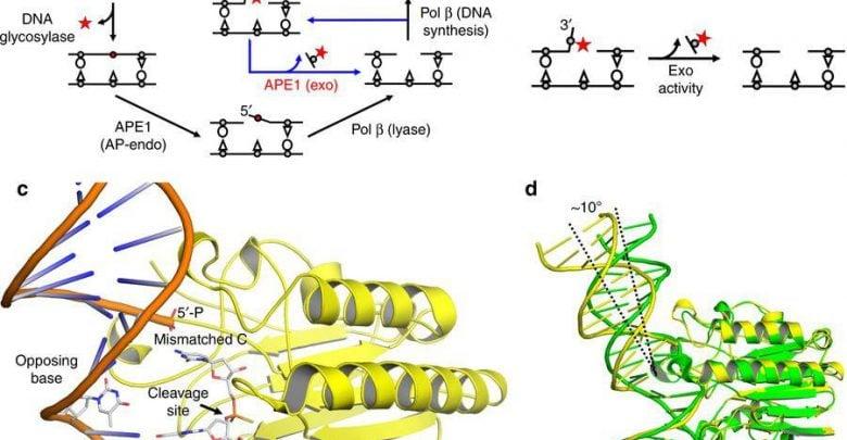 رمزگشایی از فرایند بازسازی DNA - اخبار زیست فناوری