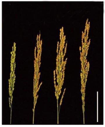 روشی نوین برای بهبود کارایی نیتروژن و افزایش عملکرد در برنج - اخبار زیست فناوری