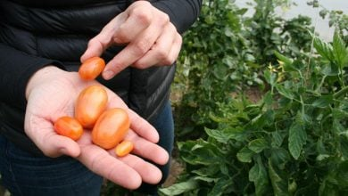 Photo of تولید گوجهفرنگی با آب کمتر و کیفیت مطلوب