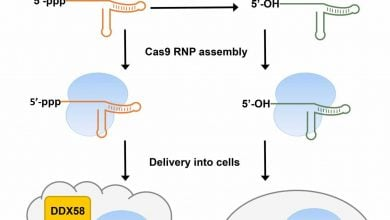 Modification of CRISPR guide RNA structure prevents immune response in target cells