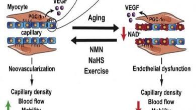 بهبود جریان خون و تناسب اندام در سالخوردگان بهکمک آنزیم SIRT1-زیست فن