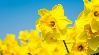 Photo of Daffodils to fight against cancer