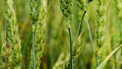 Photo of واکسن برای گیاهان خوراکی