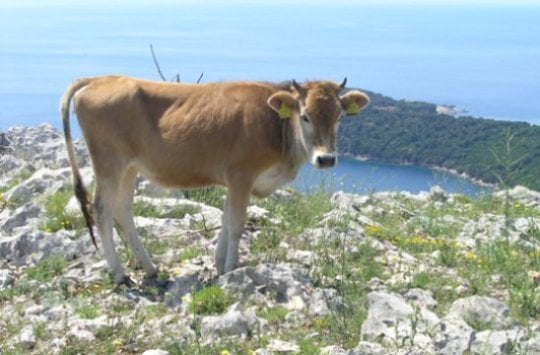 Bovine genetics The startling diversity of Buša cattle - اخبار زیست فن